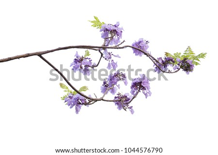 Jacaranda Flower isolated on white background, a species with an inflorescence at the tip of the purple flower, is native to South America. #1044576790