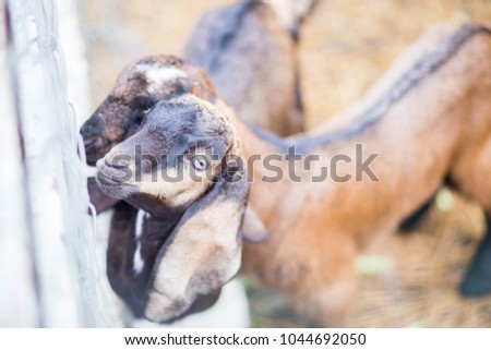 Brown goat with colorful black stripes in the cage looking at me. #1044692050