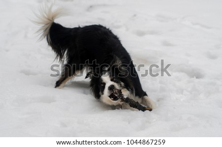 Boarder collie playing in the snow  #1044867259