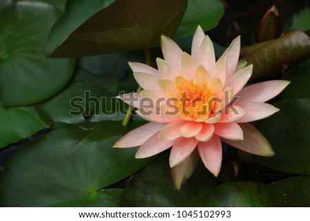The soft pink of lotus  #1045102993