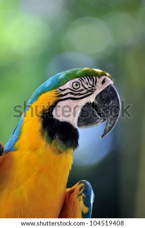 Blue and yellow macaw #104519408