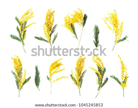 Acacia dealbata, silver wattle or mimosa close-up isoated on white background. Spring yellow mimosa flowers. Collection flowers spring, set  mimosa, 8 March, Easter #1045245853