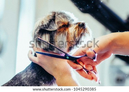 Toned picture. process of final shearing of a dog's hair with scissors. muzzle of a dog view