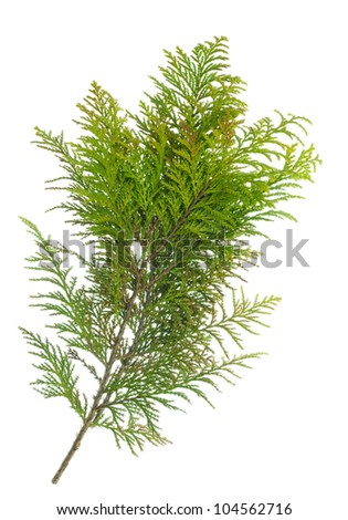 Very prickly yellow green pine bush branch isolated #104562716