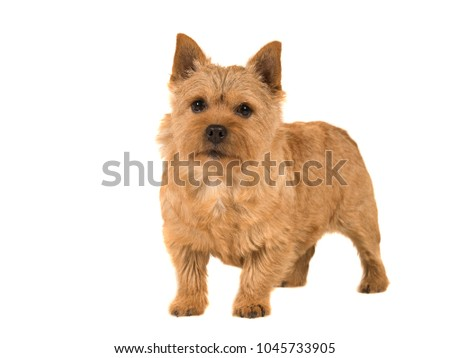 Cute norwich terrier dog standing isolated on white background #1045733905