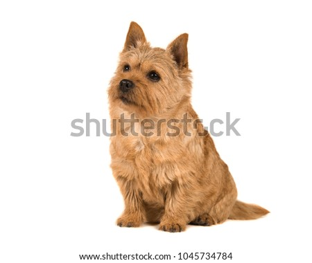 Cute norwich terrier sitting and looking up isolated on a white background #1045734784