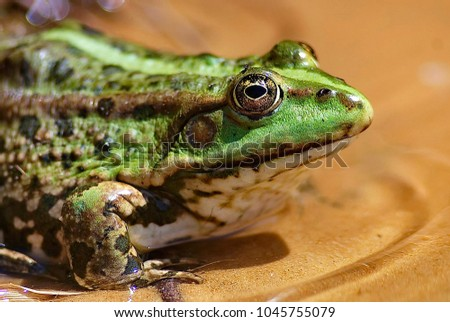Green frog on a swamp. Amphibians. Frogs are able to produce a wide range of sound signals, especially during the mating season. Live nature. Closeup  #1045755079