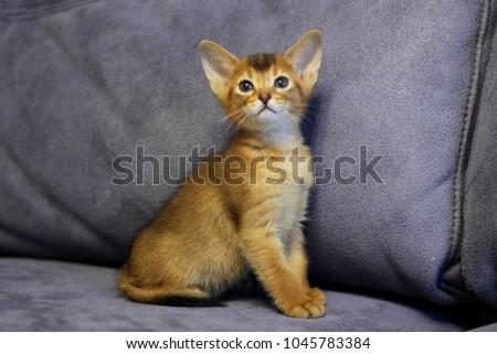 beautiful abyssinian kittens Royalty-Free Stock Photo #1045783384