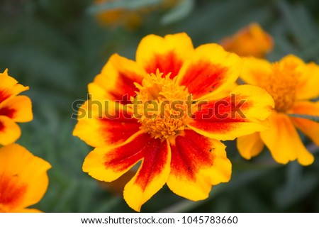 Tagetes in the garden in summer #1045783660