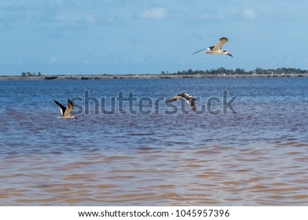 Flock of Black skimmers  enjoy a sunny morning in Mexico #1045957396