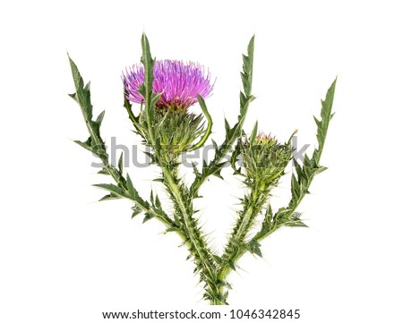 Thistle flower isolated on white background #1046342845