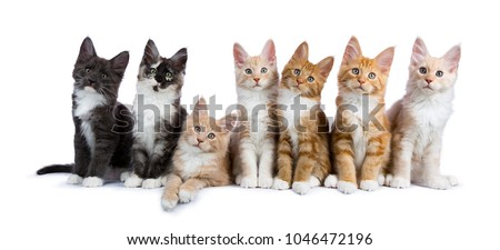 Row of seven maine coon cats / kittens looking at camera isolated on white background #1046472196