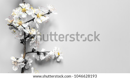 Border Sprigs of a wood apricot with flowers in a gray tone and yellow stamens on gray background. Place for text. Home. The concept of spring came. Top view. Flat lay. Banner 8 march, Happy Easter #1046628193