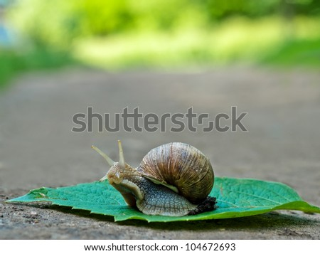 Close-up of burgundy snail walking on the leaf; also known as Roman snail, edible snail or escargot #104672693
