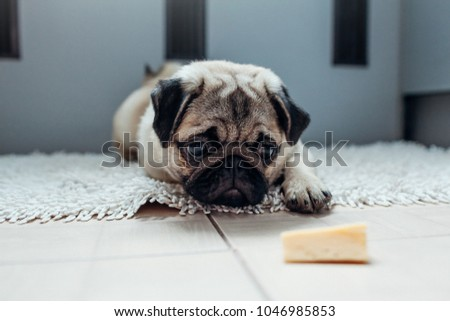 Pug dog waiting for a permission to eat cheese on the kitchen. #1046985853