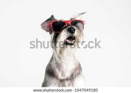 Funny dog Schnauzer in red sunglasses, isolated on white background, cool, summer.   #1047049180