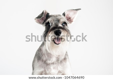 Happy, cute, funny dog Schnauzer isolated on white background.