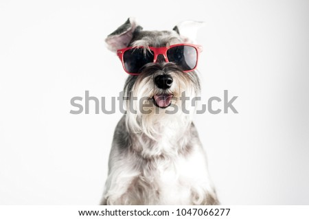 Happy, funny, cool dog schnauzer with red sunglasses isolated on white background.  #1047066277