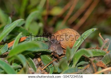 Snail, Helix aspersa, over dune plants Anthyllis vulneraria. #1047234556