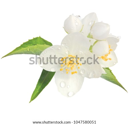 Jasmine flower mock orange blossom macro closeup isolated, Philadelphus coronarius L. lewisii native wildflowers shrub #1047580051