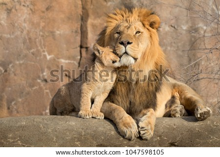This proud male aftican lion is cuddled by his cub during an affectionate moment.  #1047598105