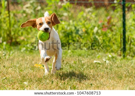 Dog run beagle jumping fun in the garden summer sun with a toy green ball #1047608713