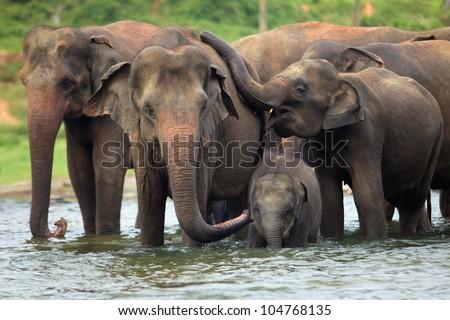 elephant family in water, Pinnawala, Sri Lanka Royalty-Free Stock Photo #104768135