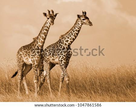 Giraffe Couple Walking #1047861586