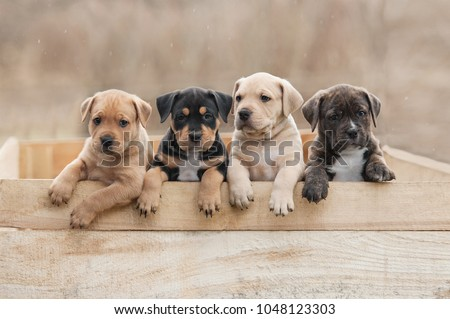 American staffordshire terrier puppies sitting in a box #1048123303