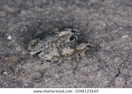 Sugarbeet weevil (Asproparthenis punctiventris formerly Bothynoderes punctiventris). It is an important pest of beet crops. #1048123669