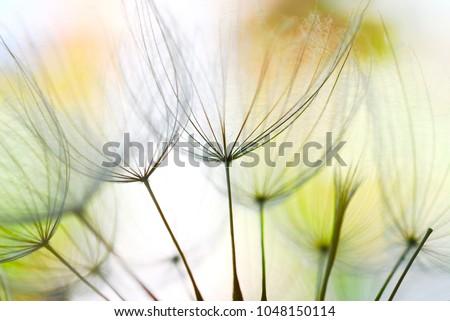 image of dandelion seeds