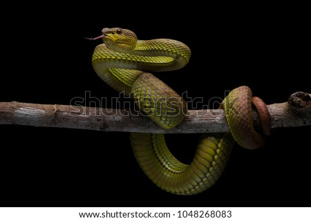 One of the high venom snake. This Snake is endemic reptile in java. It's very dangerous snake anda have deadly bite. #1048268083