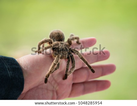 Hand holding a tarantula. Chilean rose hair tarantula (Grammostola rosea) is a common pet spider. Natural green background with copy space.