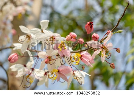 Flowers of Cassia bakeriana or common name Horse Cassia , Pink Cassia , Pink Shower or Wishing Tree. Flowering plants in the legume family usually found in every part of Thailand. #1048293832