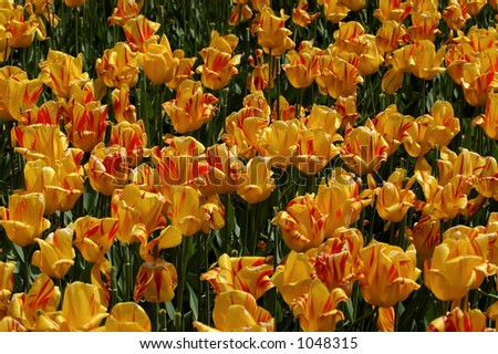 Yellow tulips with red spots #1048315