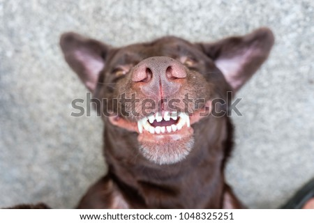dog lie on its back and show smiling dog teeth  #1048325251