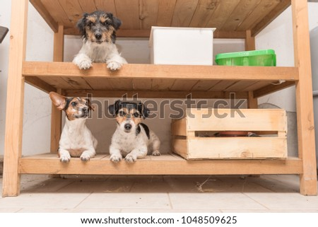 Dog beds arranged in the wooden shelf - jack russell terrier #1048509625