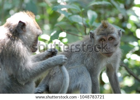 Crab-eating macaques at Sacred Monkey Forest Sanctuary, Ubud, Bali, Indonesia #1048783721