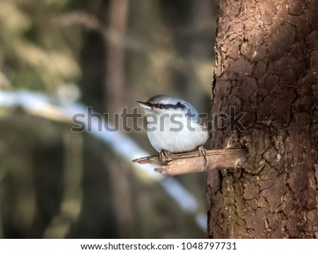 Nuthatch to the bough of a tree #1048797731