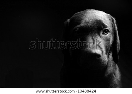 Labrador Puppy Head On in Black and White against a Black Background #10488424