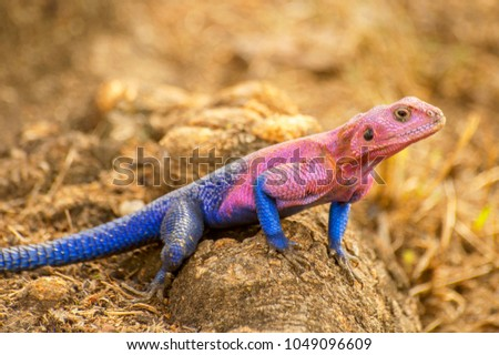 The male Mwanza flat-headed rock agama (Agama mwanzae) or the Spider-Man agama, because of its coloration, is a lizard in the family Agamidae, found in Tanzania, Rwanda, and Kenya. #1049096609