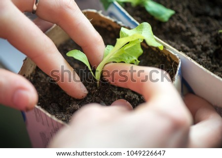 Two hands of woman carefully planting seedlings of salad in fertile soil in bigger pot. Taking care and growth concept. #1049226647