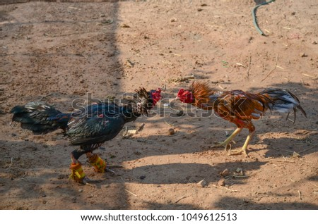 animal chicken in thailand #1049612513