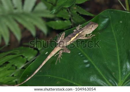 lizard #104963054