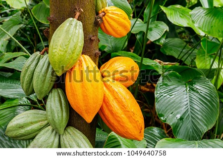 Green and Yellow Cocoa pods grow on the tree. The cocoa tree ( Theobroma cacao ) with fruits. Royalty-Free Stock Photo #1049640758