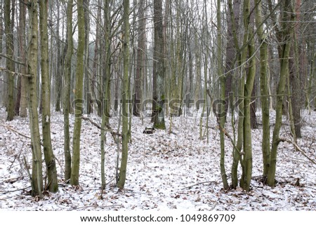 Pine forest with snow on ground #1049869709