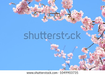 Pink cherry blossom(Cherry blossom, Japanese flowering cherry) on the Sakura tree. Sakura flowers are representative of Japanese flowers. The main part of the winter pass. I love everyone. #1049903735