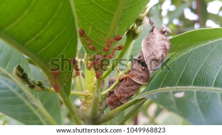 red ants on mangoes tree #1049968823
