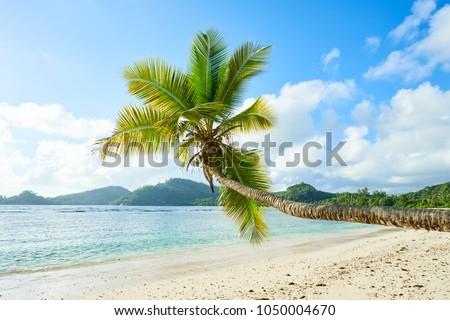 coconut palm tree on beach Baie Lazare, seychelles #1050004670