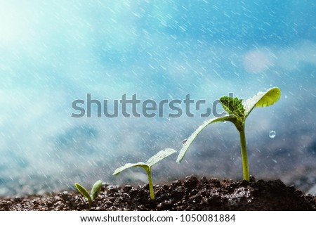 Green seedling growing on the ground in the rain. Royalty-Free Stock Photo #1050081884